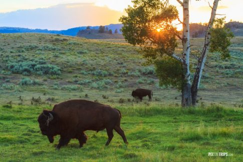 Bison in Yellowstone National Park - Pix on Trips