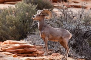 Desert Bighorn Sheep - Pix on Trips