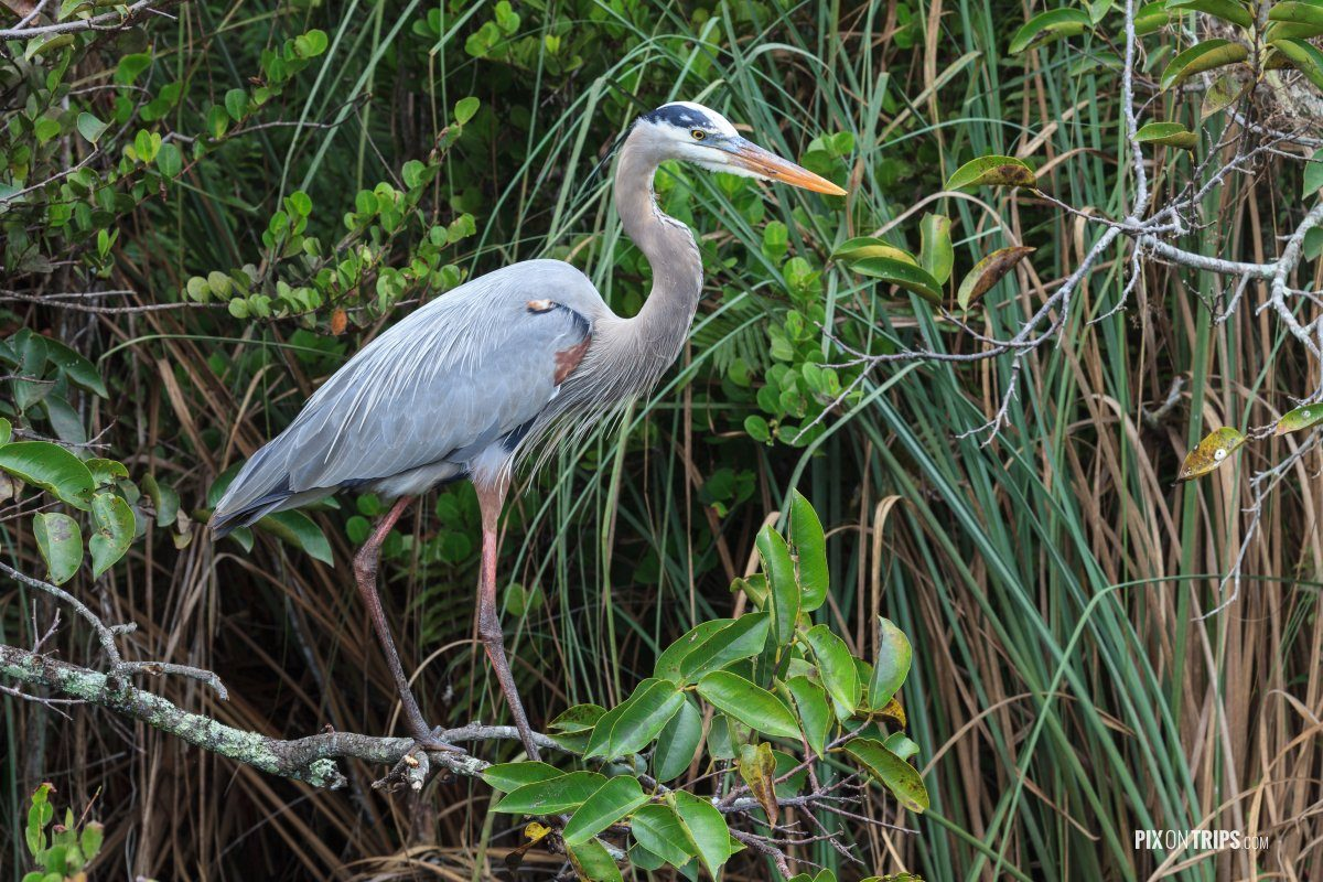 Great Blue Heron - Pix on Trips