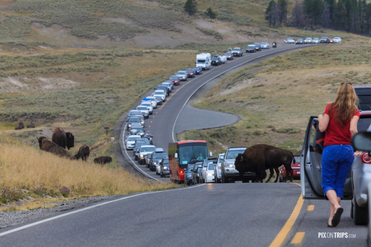 Traffic Jam in Yellowstone National Park - Pix on Trips