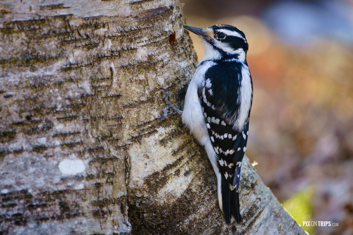 Hairy woodpecker (picoides villosus) on a tree - Pix on Trips