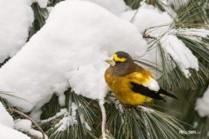 Male evening grosbeak perching on a pine tree branch in winter - Pix on Trips