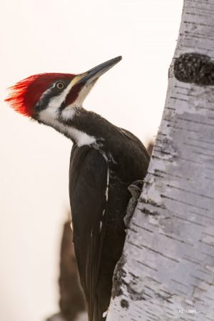 Pileated Woodpecker (dryocopus pileatus) - Pix on Trips