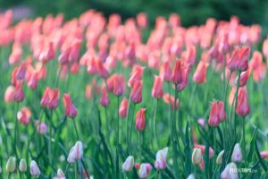 Pink tulips at Ottawa Tulip Festival - Pix on Trips