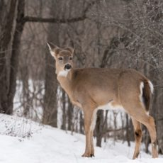 white tailed deer in winter - Pix on Trips