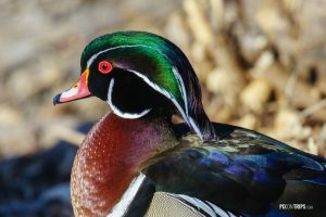 Close up of a male wood duck - Pix on Trips