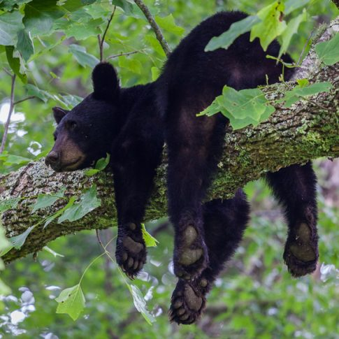 A black bear rests on a tree branch, Great Smoky Mountains National Park, TN, USA - Pix on Trips