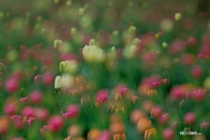 Tulips in a dream - Pix on Trips