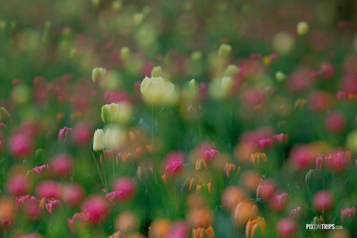 Tulips in a dream - Pix on Trips