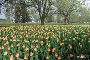 2016 Ottawa Tulip Festival  at Dow's Lake - Pix on Trips