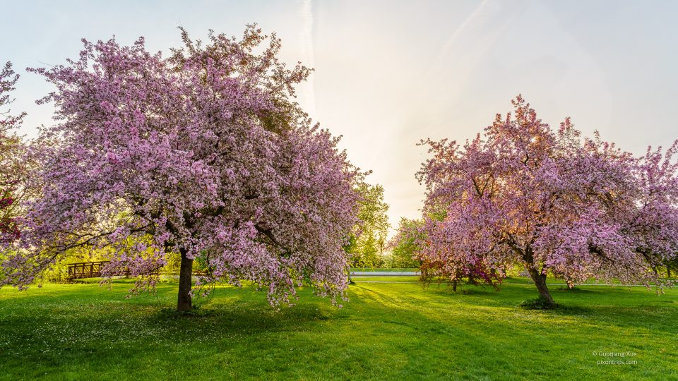 Pink blossom trees in an early morning at Dominion Arboretum, Ottawa, Canada