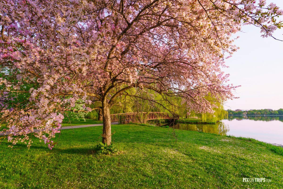 PInk blossom trees and foot bridge in a park - Pix on Trips