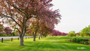 Pink blossom trees beside a road - Pix on Trips
