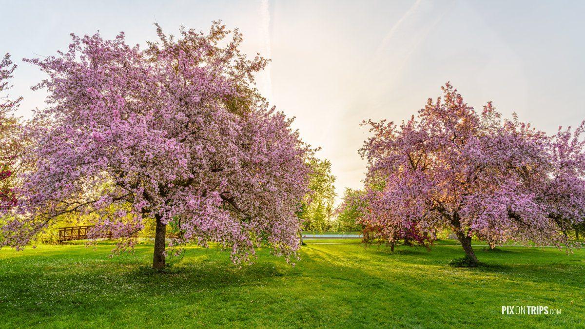 Flowering pink crabapple trees - Pix on Trips