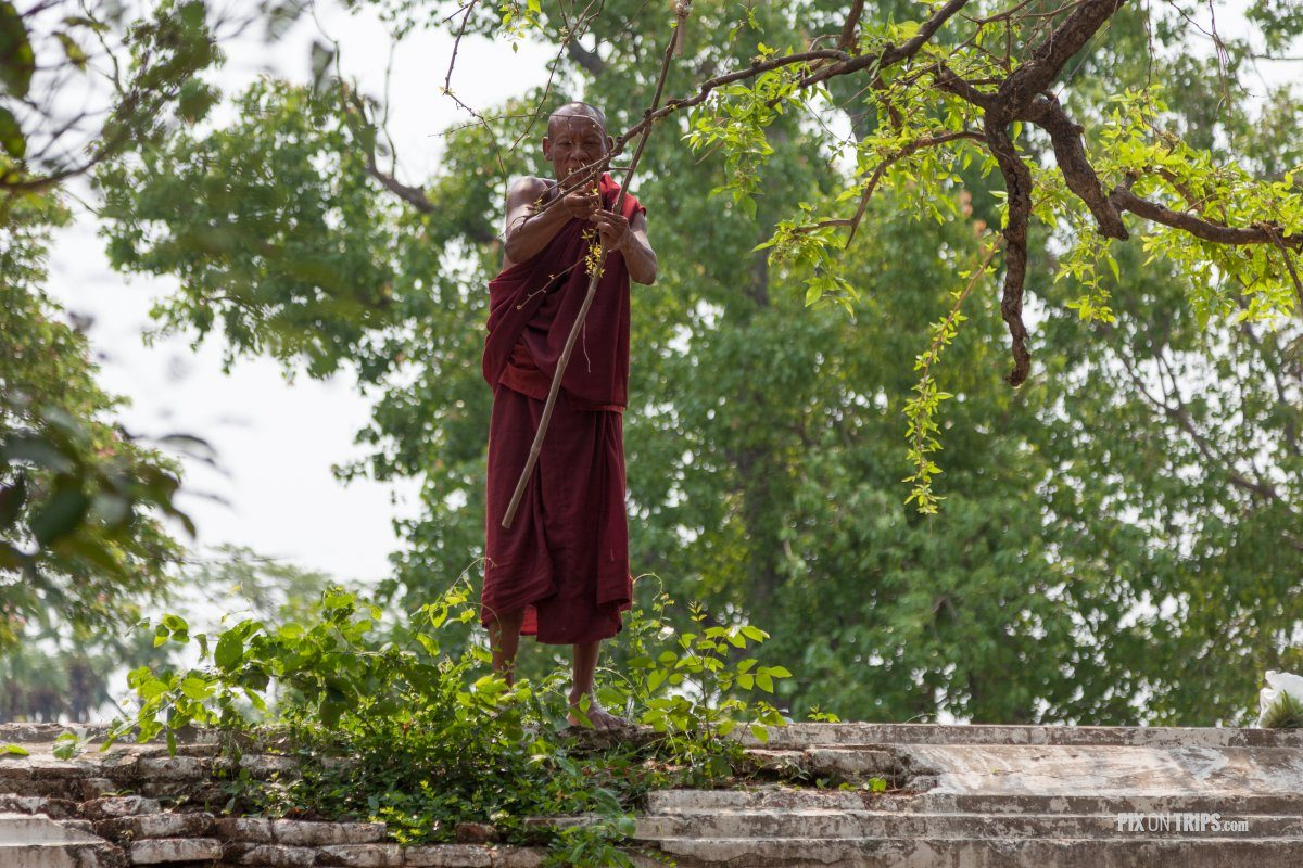 Monk clips leaves from a tree for food, Mandalay, Myanmar