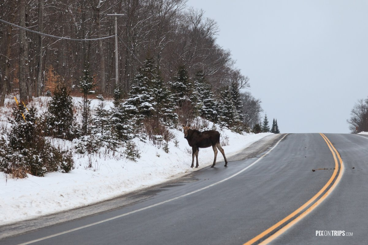Moose crossing highway in Algonquin Park - Pix on Trips