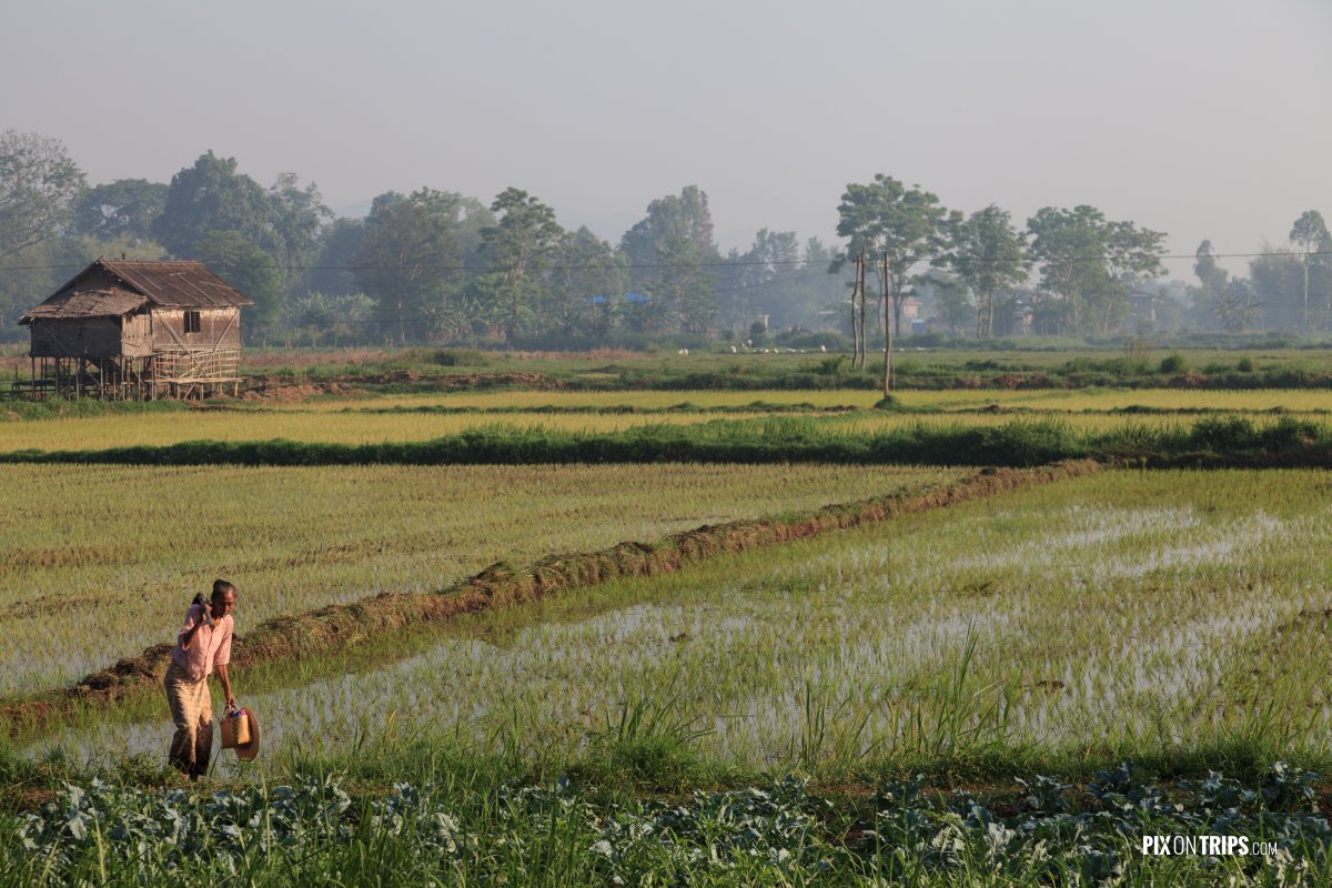 Rice farmer at work in field, Nyangshwe, Myanmar - Pix on Trips
