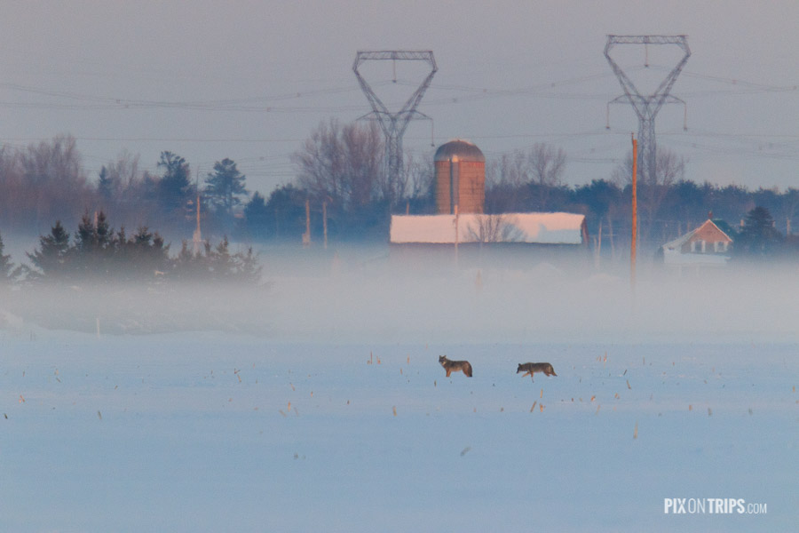 Coyote in Farmland in Winter