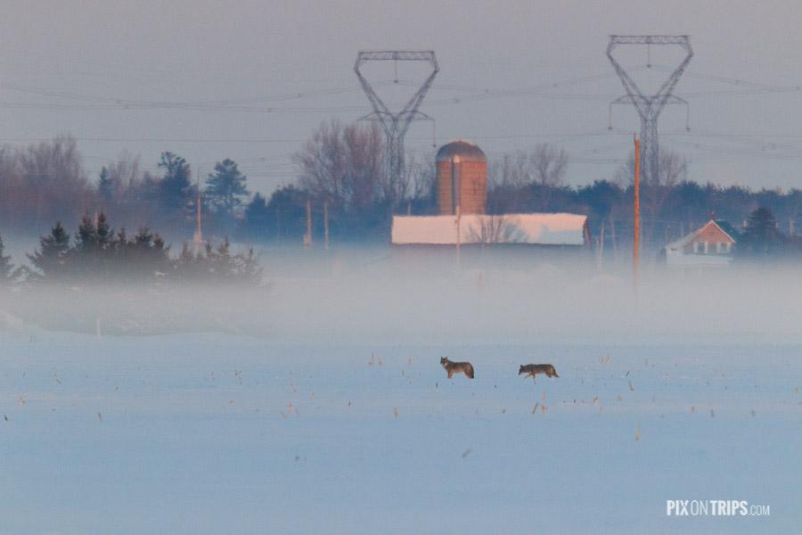 Coyote in Farmland in Winter