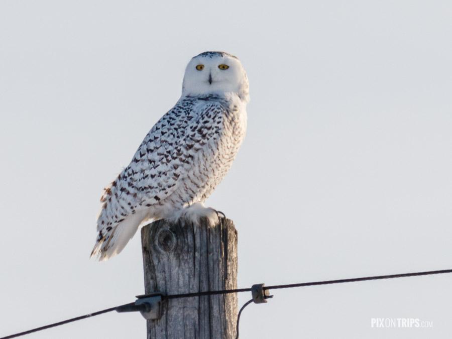 Female Snowy Owl Perches on Hydro Pole