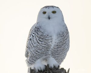 Female Snowy Owl - Pix on Trips