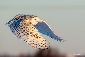 Female Snowy Owl in Flight - Pix on Trips