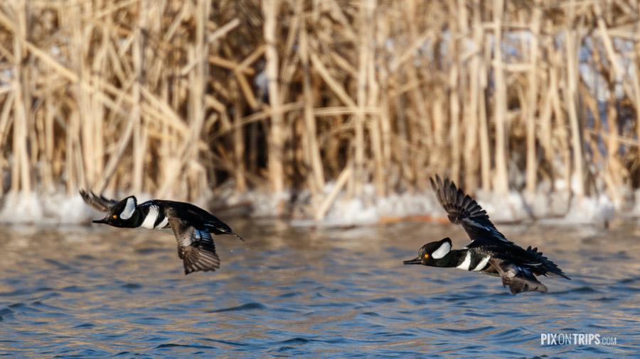 Hooded Merganser in Flight, Kanata, Ontario, Canada