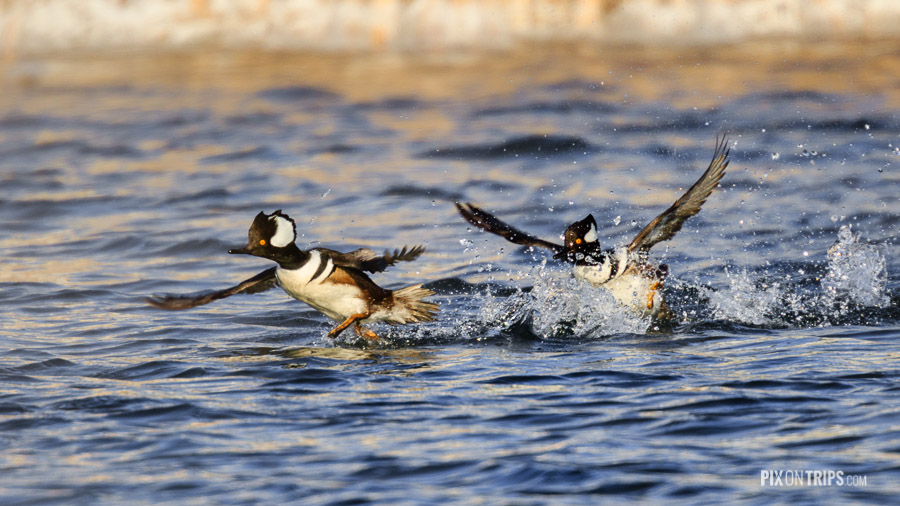 Hooded Merganser Play in Water at Eagleson Storm Water Ponds, Kanata