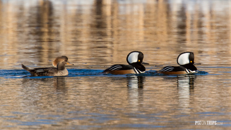 Hooded merganser trio swim in a pond, Kanata, Ontario, Canada