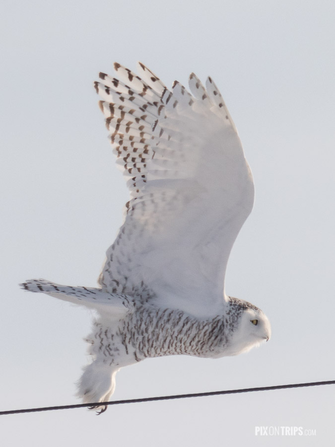Female Snowy Takes off from a Hydro Pole