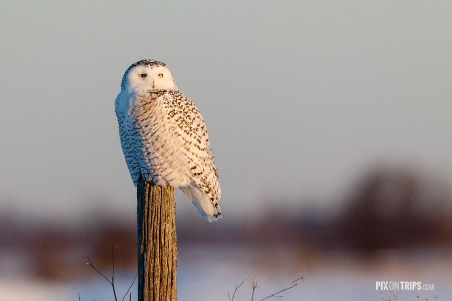 A Female Snowy Owl Perches on a Pole
