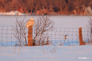 Snowy Owl Perching on a Post in Winter - Pix on Trips