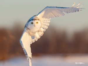 Snowy Owl in Flight - Pix on Trips