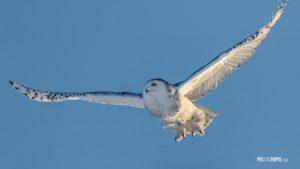 Snowy Owl in Flight - Pix on Trips