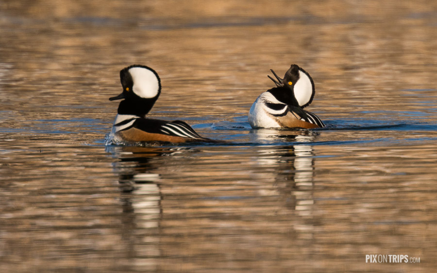 Hooded merganser swim in a pond, Kanata, Ontario, Canada