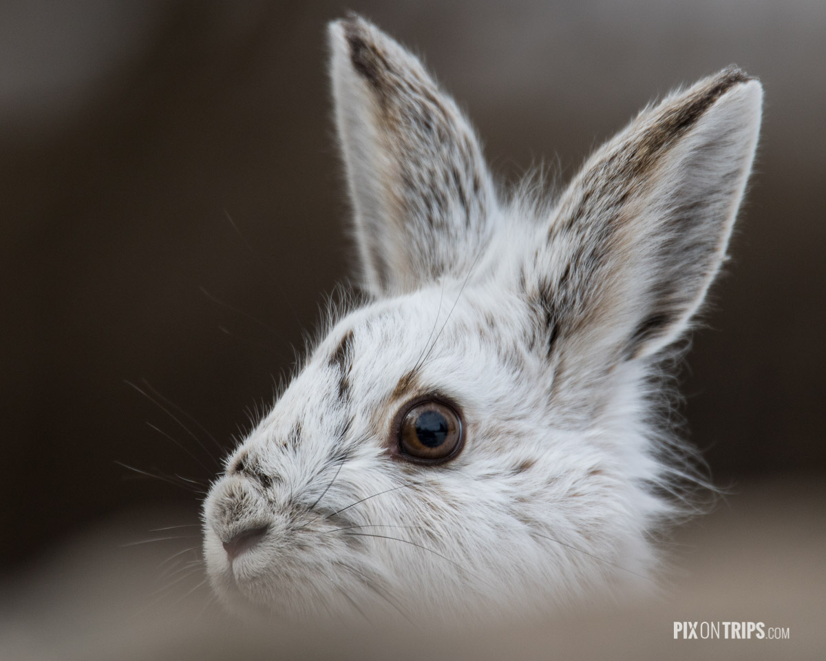 Close-up view of a snowshoe hare found in Ottawa Green Belt