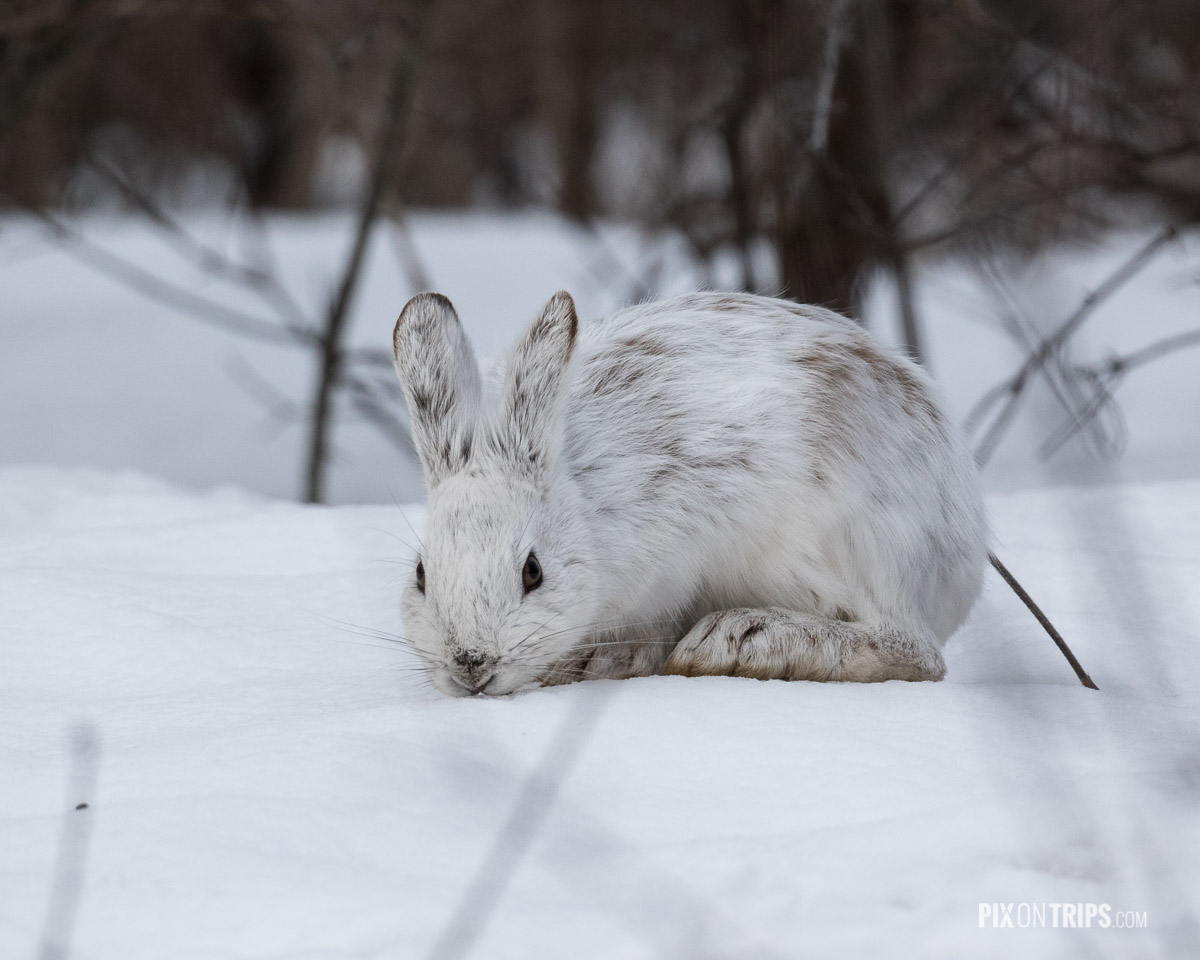 Snowshoe hare found in Ottawa Green Belt