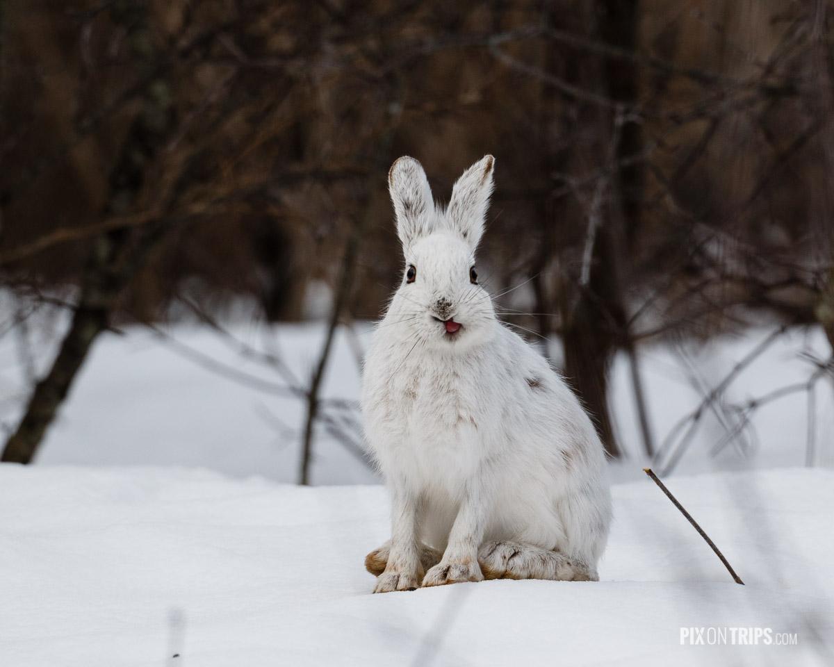 Snowshoe hare found in Ottawa Green Belt
