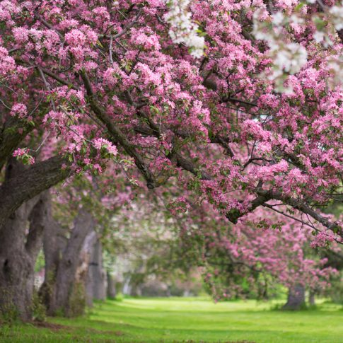 Pink and white flowering trees in Ottawa