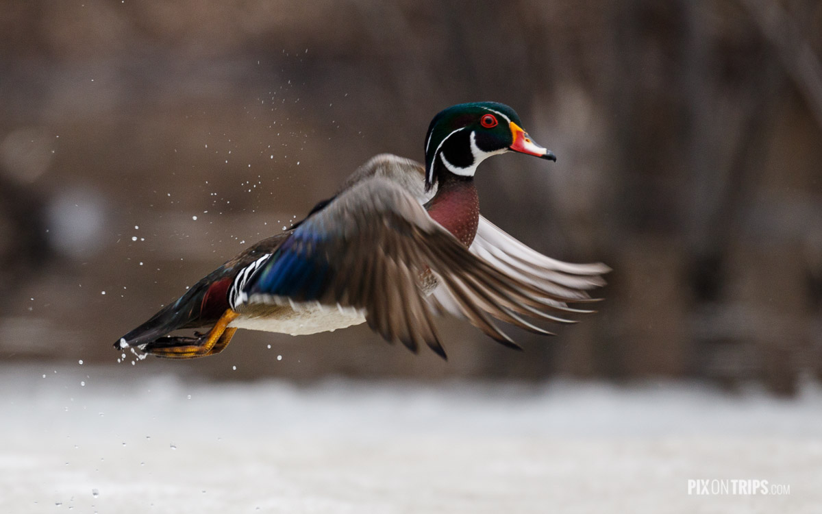 Wood duck takes off from icy pond at Mud Lake of Ottawa, Canada