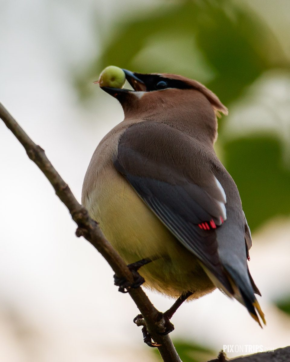 Cedar Waxwing perches on a tree branch with green fruit in its beak- Pix on Trips