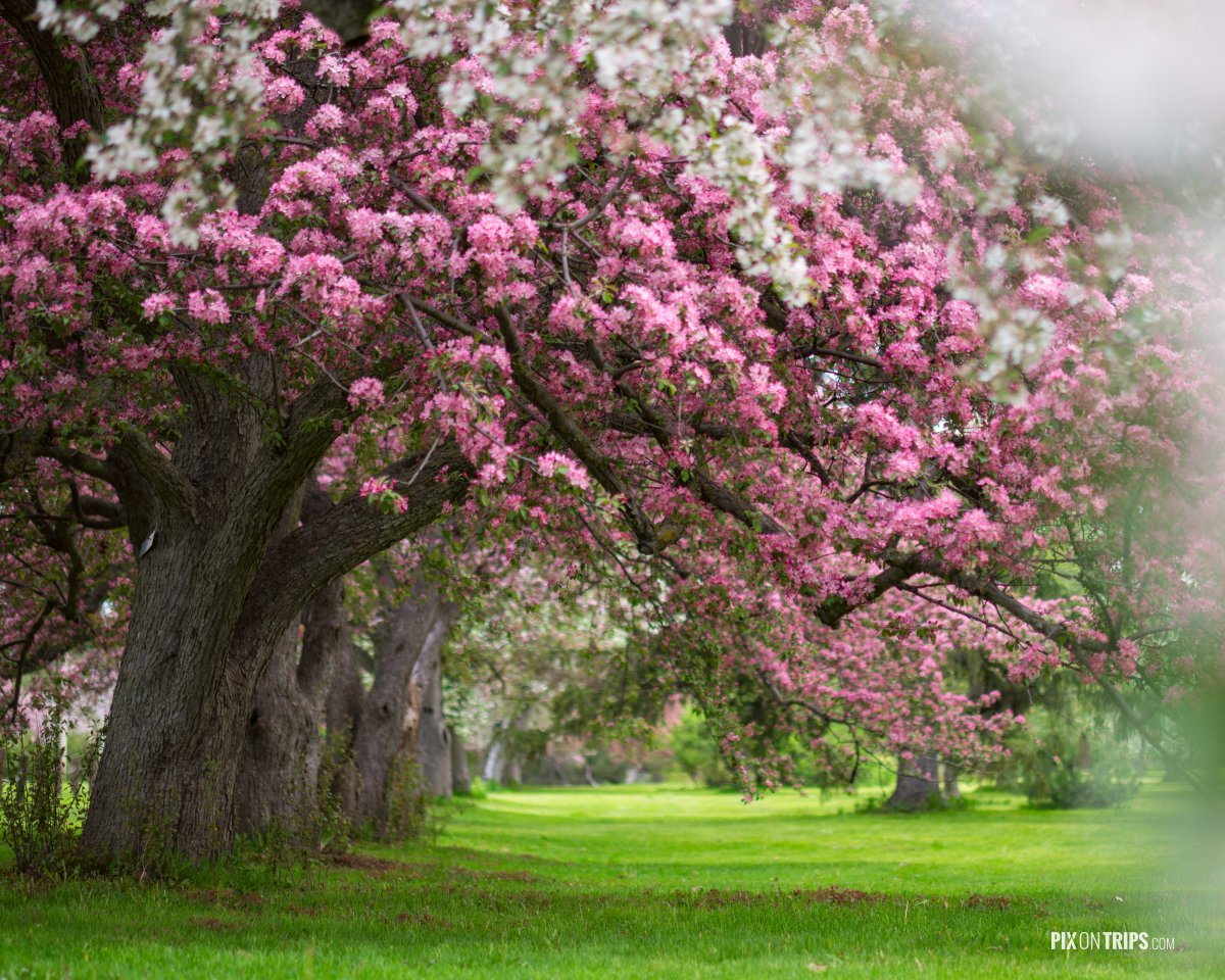 Pix On Trips Pink And White Flowering Trees