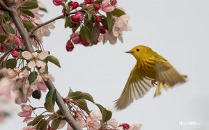 Yellow Warbler (Setophaga Petechia) - Pix on Trips