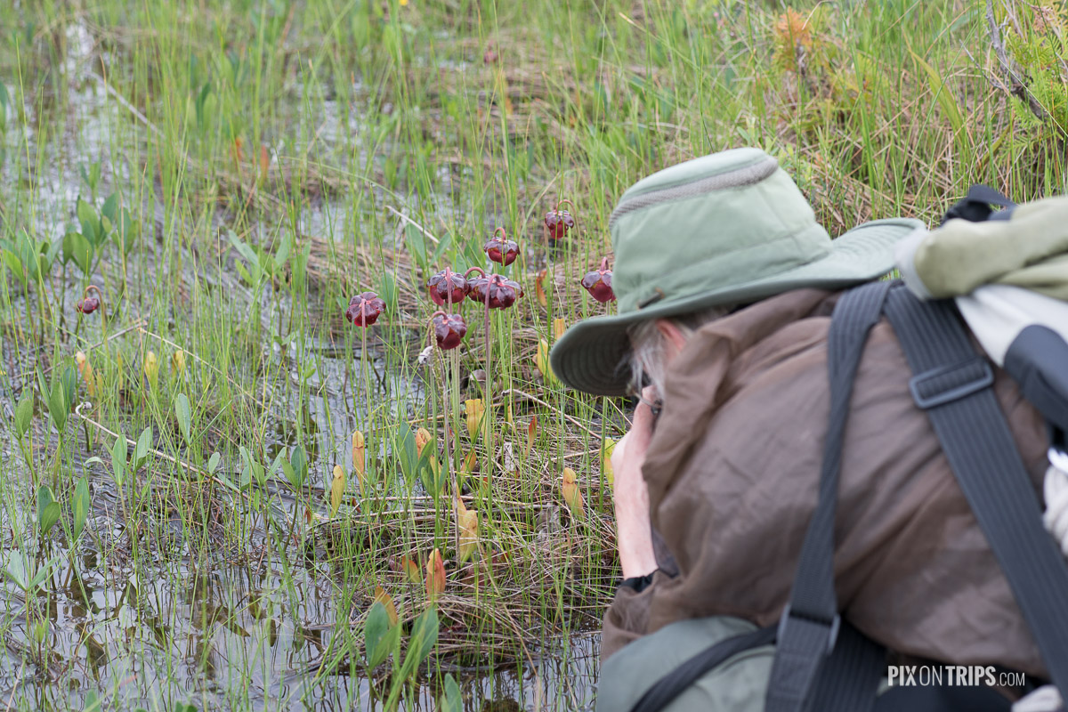 OFNC trip leader Eden Bromfield is photographing pitcher-plants