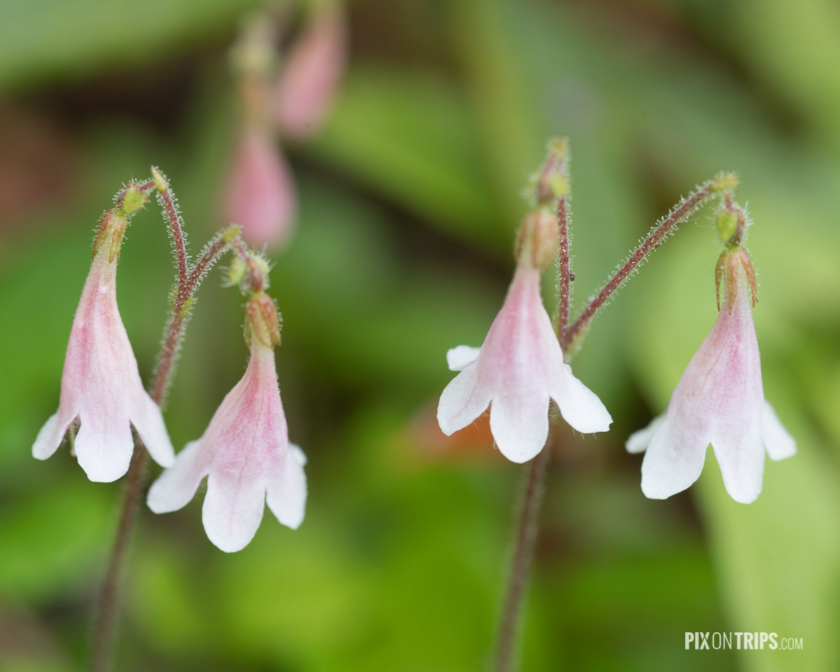 Twinflowers, Eastern Ontario, Canada - Pix on Trips