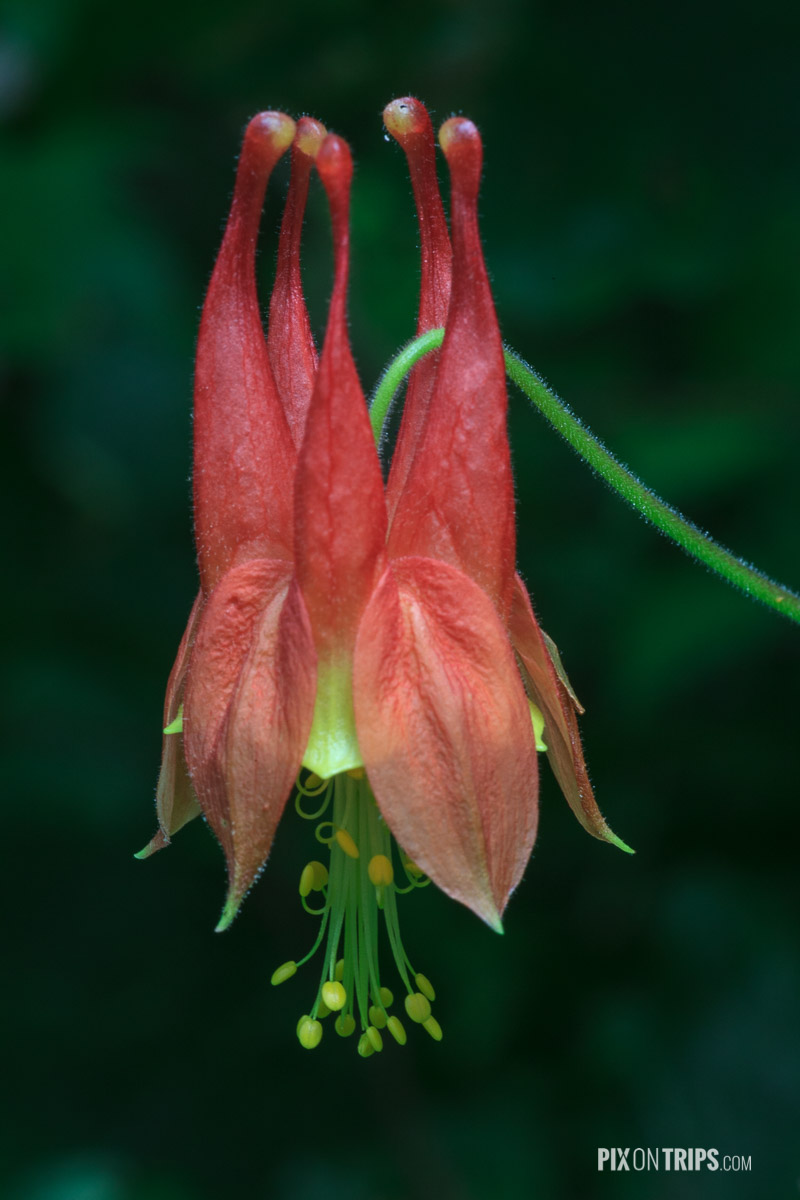 Wild columbine on the Blackrock Summit Trail - Pix on Trips