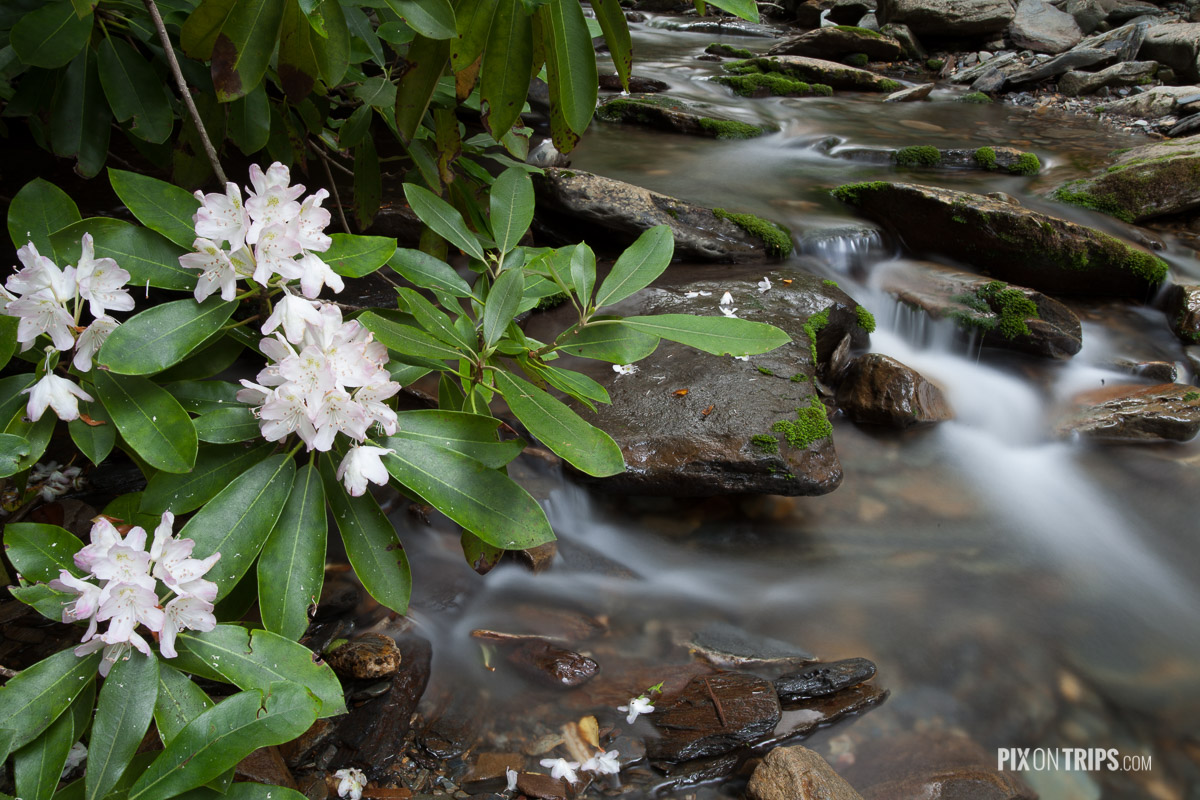 Rhododendron beside a creek, Smoky Mountains National Park