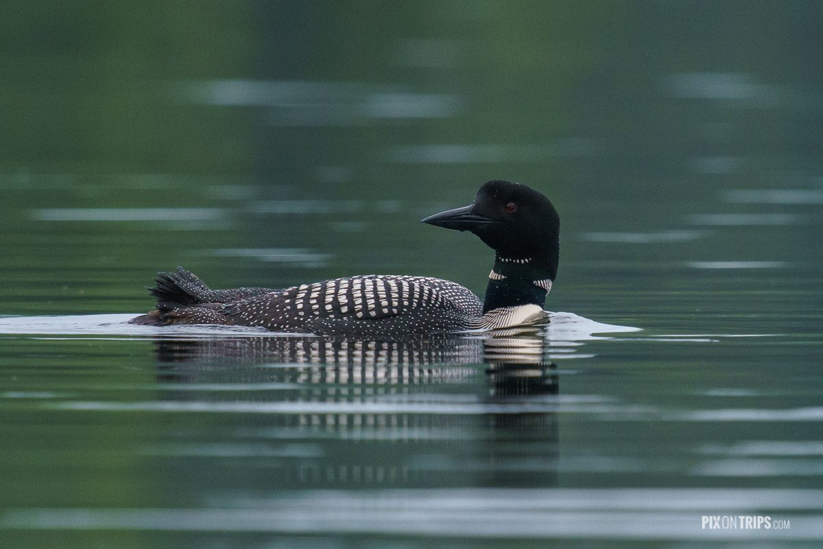 Common loon swimming in the Hogg Bay, Murphy's Point Provincial Park