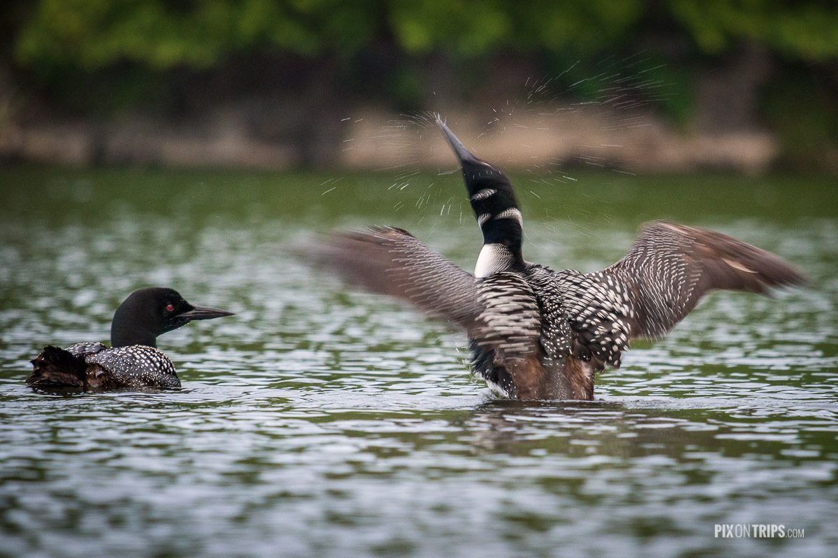 Loons, Murphy's Point Provincial Park, Ontario