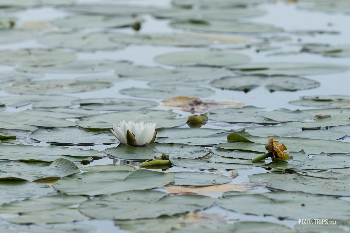 Water lily and water lily pads, Murphy's Point Provincial Park - Pix on Trips